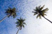 кокосовая пальма — Стоковое фото