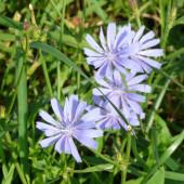 Chicory (Cichorium intybus) — Stock Photo