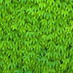 Green Parthenocissus Tricuspidata — Stock Photo #72244245