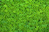 Green Parthenocissus Tricuspidata — Stock Photo