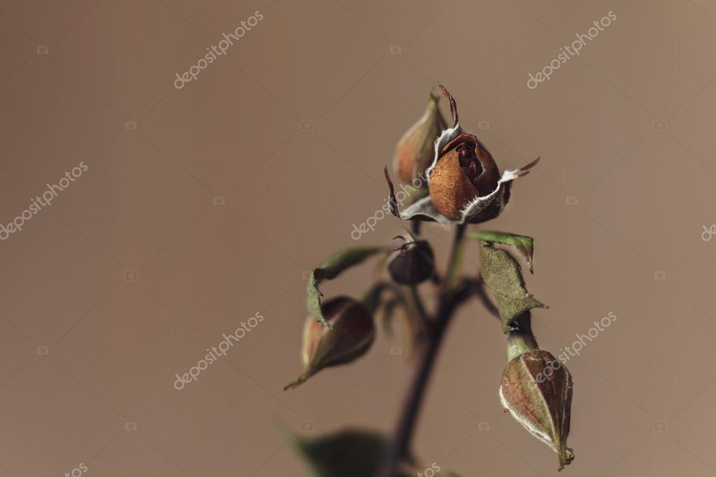 gros plan macro triste fleur rose fanée — photographie nigrechok