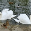 Swans on the water in closeup — 图库照片 #65610967