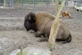 Portrait of huge bison at  zoo — ストック写真