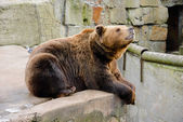 Brown Bear at the zoo — Stock Photo