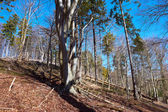 Beech forest of Jasmund National Park at Rugen island. Germany — Stock Photo