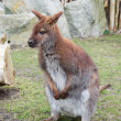 Brown kangaroo, focus close-up — Stock Photo #71761831