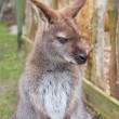 Brown kangaroo, focus close-up — Stock Photo #71761833