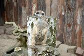 Meerkat standing on stump  — Stock Photo