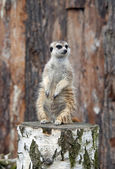 Meerkat standing on stump  — Stok fotoğraf