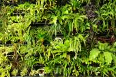 Green fern wall vertical garden — Stock Photo