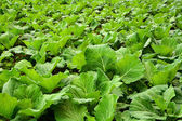 Field with green cabbages — Stock Photo