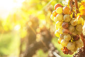 Noble rot of a wine grape, botrytised grapes — Stock Photo