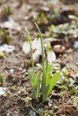 Snowdrop spring flower with snow — Stock Photo