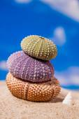 Sea Hedgehog shells ion beach  sand and blue sky Background — Stock Photo