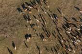 Аэрофотоснимок стадо коров на летние зеленые поля — Стоковое фото