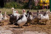 农家院里的乡村农场鸭子 — 图库照片