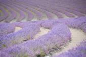 Lavender field Tasmania filtered image — Stock Photo