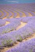 Tasmania Australia purple lavender farm — Stock Photo