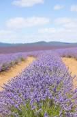 Tasmania Australia lavender field farm — Stock Photo
