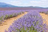 Tasmania Australia purple lavender field — Foto de Stock