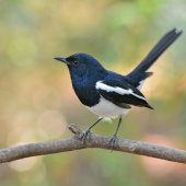 Oriental Magpie Robin bird — Stock Photo