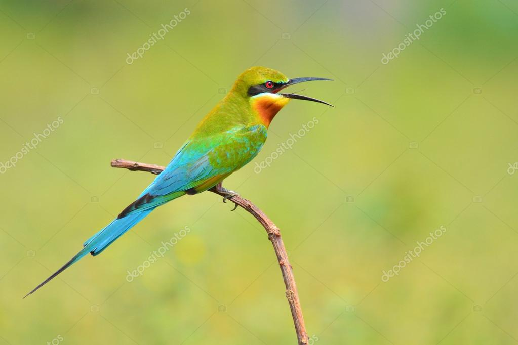 Blue Tailed Bee Eater Migration Blue-tailed Bee-eater