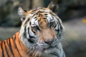 тигр — Стоковое фото