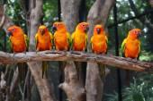 Sun Conure parrot bird — Stock Photo
