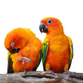 Zon papegaaiachtigen papegaai vogel — Stockfoto
