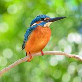 Kingfisher bird — Stock Photo