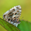 Gray Tinsel butterfly — Stock Photo #54868529