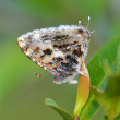 Gray Tinsel butterfly — Stock Photo #54868569