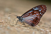 Chestnut Tiger butterfly — Stock Photo