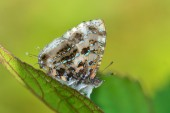 Gray Tinsel butterfly — Stock Photo