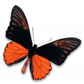 Black and orange butterfly — Stock Photo