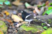 White-crowned Forktail bird — Stock Photo