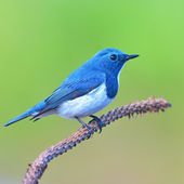 Ultramarine flycatcher bird — Stock Photo