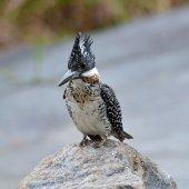 Crested Kingfisher — Stock Photo