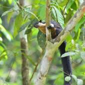 Black giant squirrel — Stock Photo