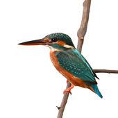 一般的な Kingfishe — ストック写真