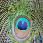 Green Peacock feathers — Stock Photo