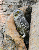 Spotted owlet — Stock Photo