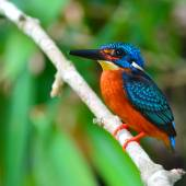 Blue-eared Kingfisher bird — Stock Photo