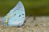 Polyura delphis — Stock Photo
