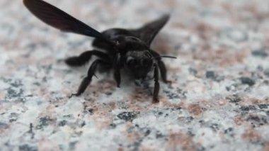 Abelhas negras rastejando e voando — Vídeo stock