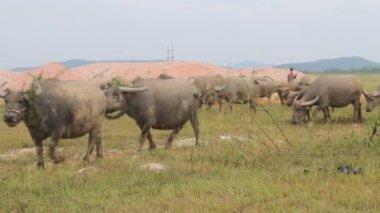 Group of people shepherding buffalo herd — Stok video