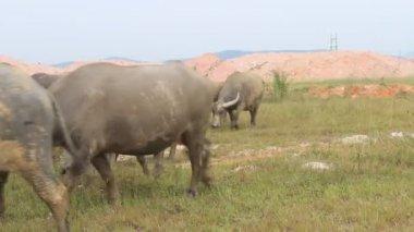 Group of people shepherding buffalo herd — Vídeo Stock