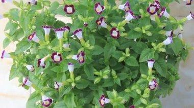 фиолетовый цветок на ветру — Стоковое видео