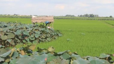 Green rice field, lotus pond, hut and sky — Stock Video