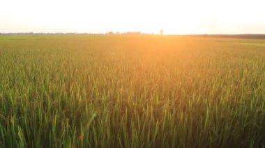 Pôr do sol sobre os campos de arroz — Vídeo stock